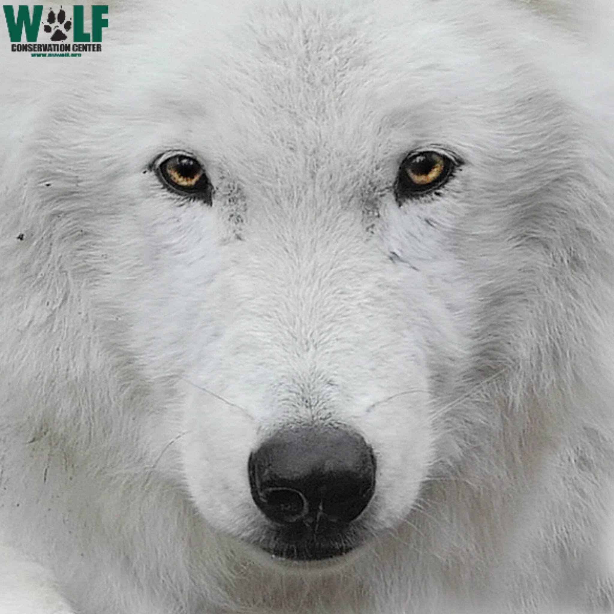 SOUTH SALEM - Wolves of North America @ Wolf Conservation Center (WCC)