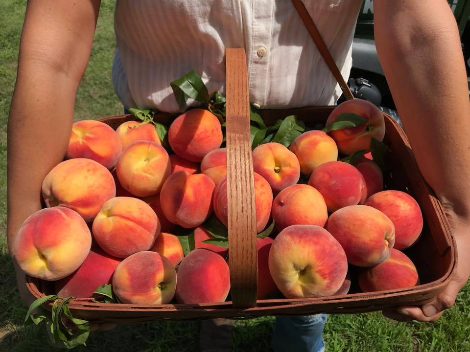Pick Peaches! at Fix Brothers Fruit Farm in Hudson, NY