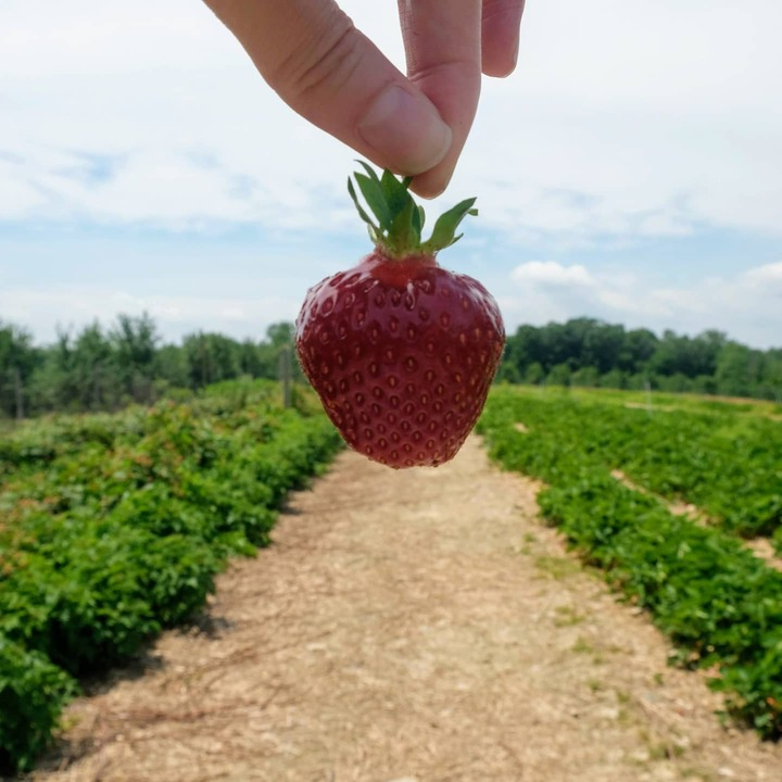 Berry Picking at Jenkins & Lueken Orchards in New Paltz, NY
