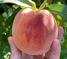 PYO Peaches at Prospect Hill Orchards in Milton, NY