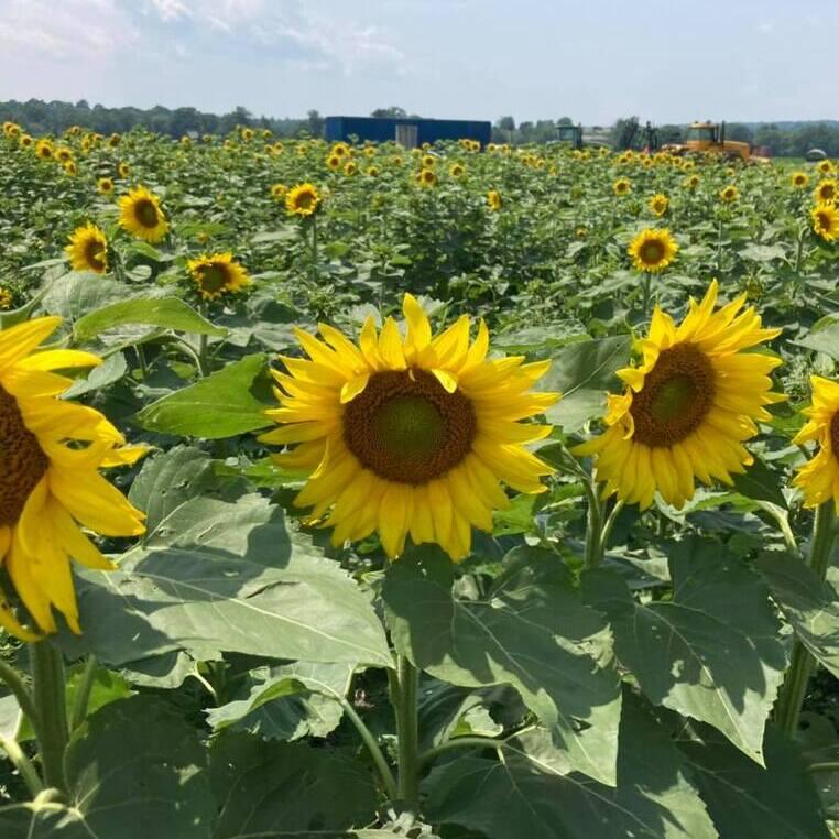 PYO Sunflowers at Sunflower Valley Farm! in New Hampton, NY